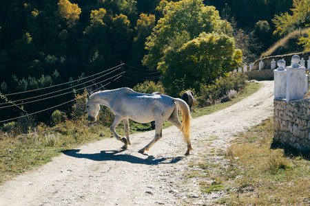 beautiful white horse jumps on a country road
