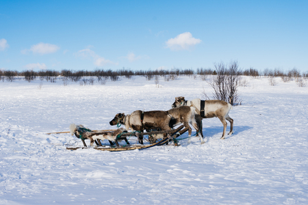 far in the cold north snow-covered field, sledges and young deer