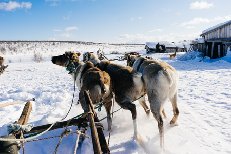 in the far cold north on snow-covered land a team with deer rides
