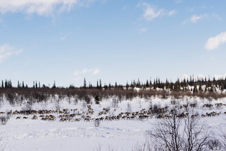 in the far cold north, a herd of wild reindeer flies through the snow-covered wintery ole Stockfoto