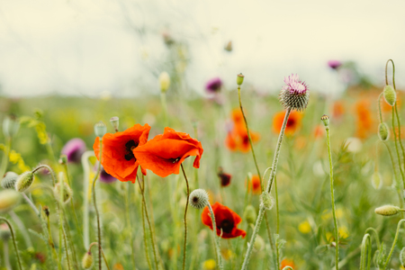 field of red poppies on the background of green grass Stock Photo