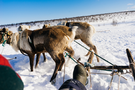 in the far cold north the girl sits in a sleigh, in a harness with deer