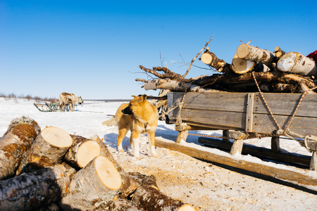 in the far cold north in the snow is a dog, a lot of firewood Stock Photo