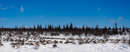 in the far cold north, a herd of wild reindeers runs across the snow-covered field
