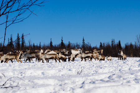 a lot of deer in the background of a snow-covered landscape