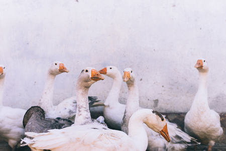 a flock of white geese on a wall background Stock Photo