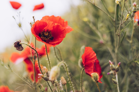 Red poppies flowers on a green field background stock photo picture red poppies flowers on a green field background stock photo 94888809 mightylinksfo