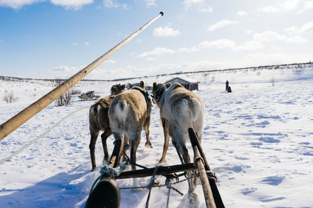 n adalekom cold north on a white snow-covered field is riding a team with deer Banco de Imagens
