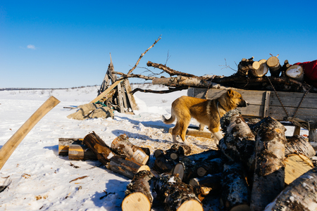 dog on the background of a snow-covered field and firewood