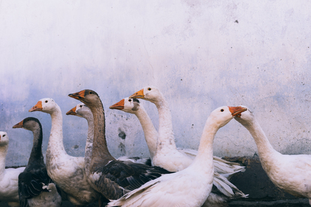 white and gray geese on a white background