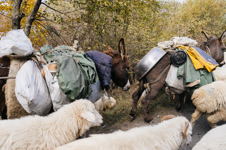 On the forest road there are donkeys, they carry things on their backs, and a flock of white sheep