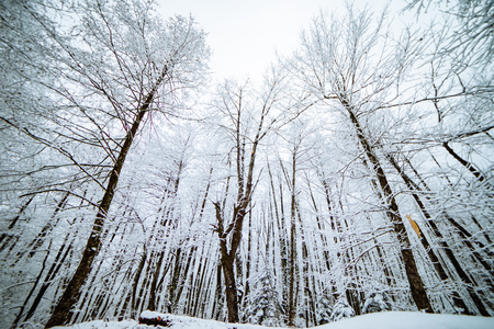 a magical winter nature, tall trees covered with white snow, frost and cold