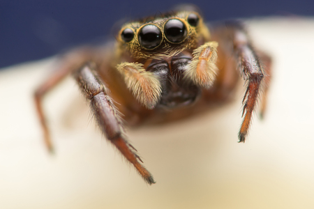 Brown and cream jumping Spider - Evarcha proszynskii,