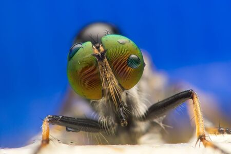 asilidae: Robberfly, Asilidae (Insecta: Diptera: Asilidae)