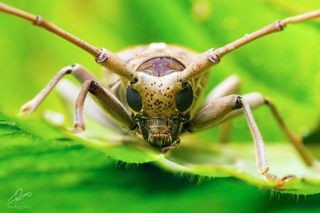 long horn beetle: Longhorn Beetle (Cerambycidae)