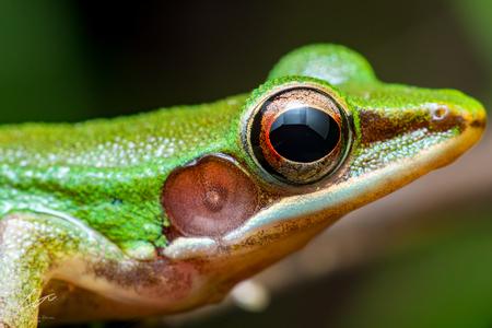 labialis: White-lipped Frog (Chalcorana labialis) Stock Photo