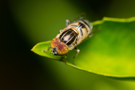 horsefly: Horse-fly, Tabanidae Stock Photo