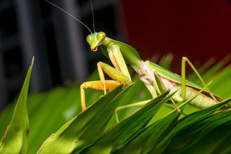 Giant Malaysian shield praying mantis (Rhombodera Basalis) resting on a tree during the night Stock Photo