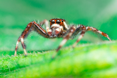 salticidae: Male Two-striped Jumping Spider (Telamonia dimidiata, Salticidae) resting and crawling on a green leaf