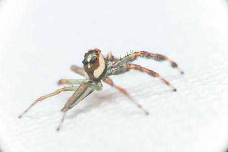 salticidae: Male Two-striped Jumping Spider (Telamonia dimidiata, Salticidae) resting and crawling on a white tissue