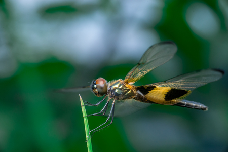 antenna dragonfly: Male yellow-striped flutterer dragonfly (Rhyothemis phyllis) on a green weed Stock Photo
