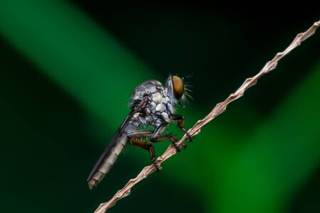 Robberfly, Asilidae (Insecta: Diptera: Asilidae) resting on a twig