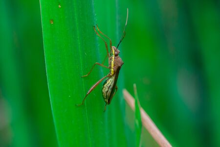 assasin: Green, brown and yellow striped Assasin bug (Reduviidae) on a grass Stock Photo