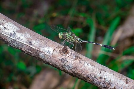 Green Marsh Hawk Dragonfly (Orthetrum sabina), on a brown stem