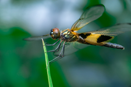 Male yellow-striped flutterer dragonfly (Rhyothemis phyllis) on a green weed Stock Photo