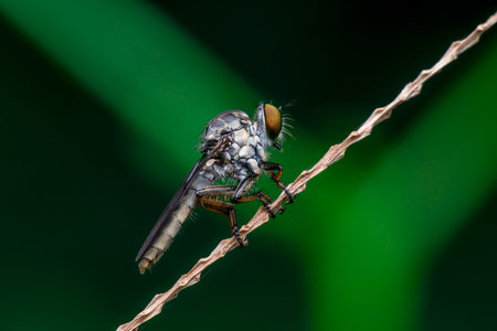 asilidae: Robberfly, Asilidae (Insecta: Diptera: Asilidae) resting on a twig