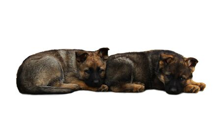 2  German Shepherd puppies lying together, isolated on white photo