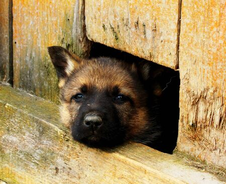 A Geman Shepherd puppy poking its head out of a hole photo