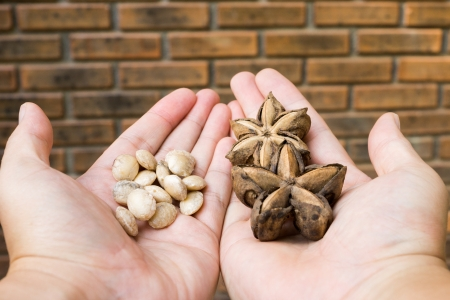 alzheimer s disease: sacha inchi seed and nut on both hand with brick wall background Stock Photo