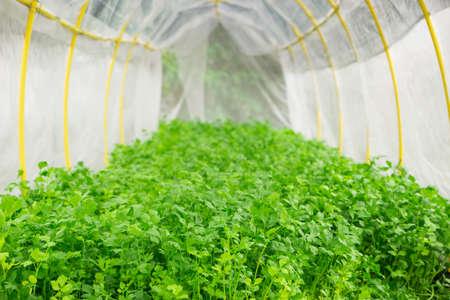 hydroponics: celery hydroponics