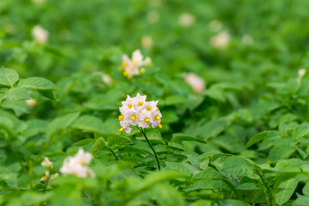 non cultivated: Potato Flowering Stock Photo