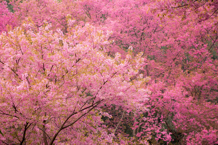 Beautiful Pink Cherry Blossom photo