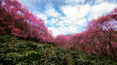 coffee field with Beautiful Pink Cherry Blossom photo