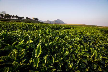 hojas de te: Las hojas de t� con la plantaci�n