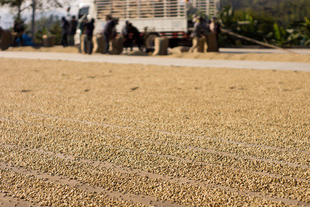Coffee Bean Sun Dried with worker and Truck Background photo