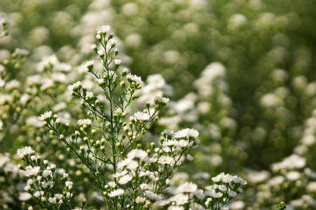 lanceolatus: White Michaelmas Daisy or Aster lanceolatus Plantation Stock Photo