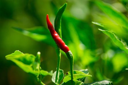 Bird s Eye Chili Pepper Close Up photo
