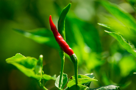 bird s eye: Bird s Eye Chili Pepper Close Up Stock Photo
