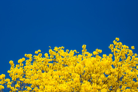 Yellow Pui Flowering with Blue Sky photo