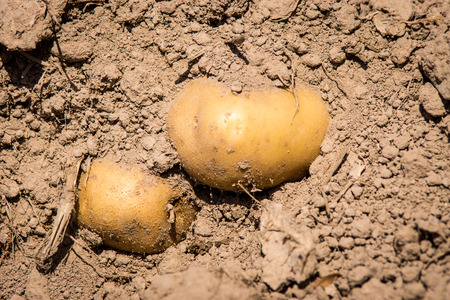 Potatoes in Soil photo