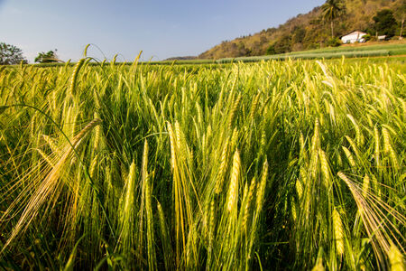 non cultivated: Barley Field