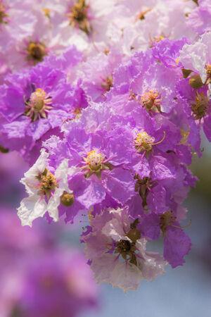 true myrtle: Lagerstroemia Blooming
