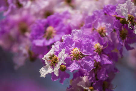 Lagerstroemia Blooming photo