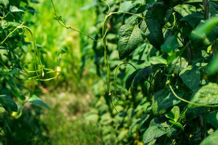 long bean: Chinese Long Bean Plantation