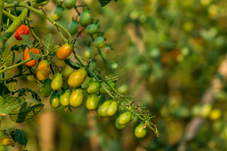 Cheery Tomato Plantation photo