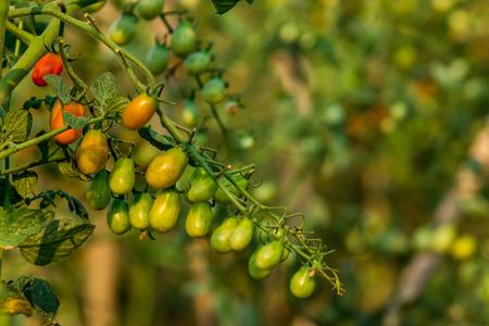 Cheery Tomato Plantation photo